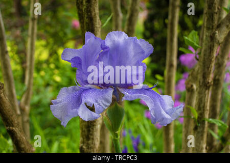 A blue iris growing in a garden in north east Italy. The flower is wet from recent rain - Stock Image