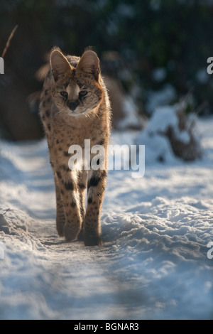 Serval in the snow - Stock Image