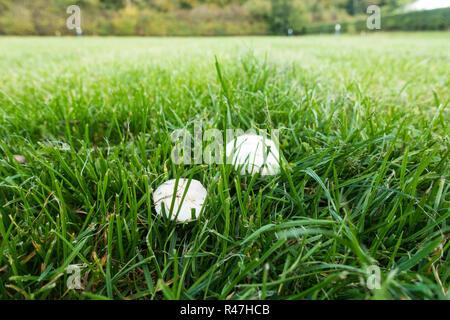 Maggot infested field mushrooms. - Stock Image