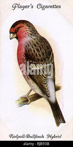 Redpoll-Bullfinch Hybrid. - Stock Image