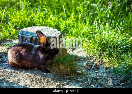 Black rabbit (Oryctolagus cuniculus) standing next to a tree stump - Stock Image