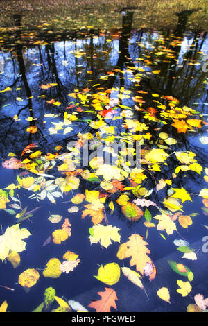 Autumn leaves in water on a background of trees - Stock Image