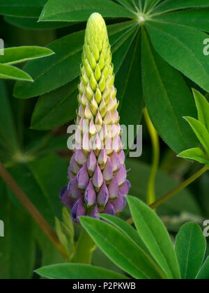 Closeup of single Lupin flower in English garden, Leicestershire, UK - Stock Image