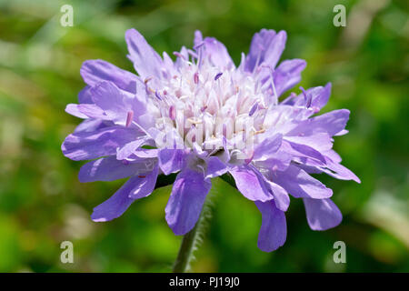 Field Scabious (knautia arvensis), also known as Gypsy Rose, close up of a single flower. - Stock Image