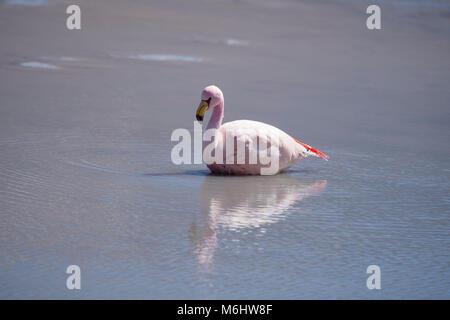 James's flamingo in Boliva - Stock Image