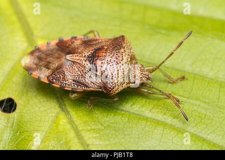 Parent Bug (Elasmucha grisea) at rest on bramble leaf. Tipperary, Ireland - Stock Image