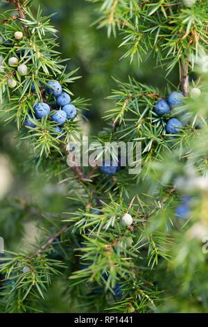 Close-Up Of Juniper Berries Growing On Tree.  Juniper branch with blue berries growing outside. - Stock Image