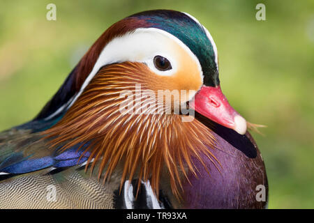 Detailed, close-up front view of isolated mandarin drake (Aix galericulata). Male mandarin duck. - Stock Image