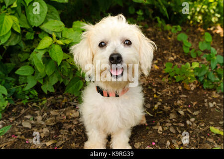 Happy dog is a cute fluffy white little puppy dog with a big smile on his face. - Stock Image
