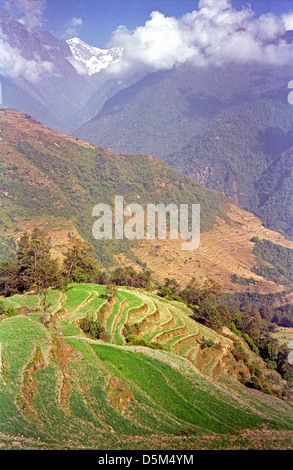 Terraced hillsides with farms fresh green crops Modi Khola valley near Chomrong with snow peak Annapurna circuit - Stock Image