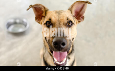 Happy dog bowl is a hungry German Shepherd waiting for someone to food in his bowl. - Stock Image
