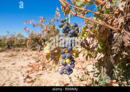cluster of black and green wine grapes hanging in withered vine branch of vineyard, in winter or autumn season, in Castile, Spain, Europe - Stock Image