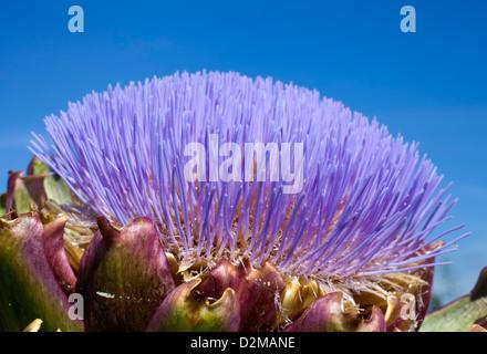 flowering artichoke - Stock Image