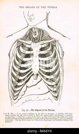 Organs of the Thorax.   A 19th century diagram - Stock Image
