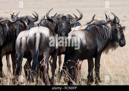 Group of Adult Wildebeest, Masai Mara National Reserve, Kenya, East Africa - Stock Image