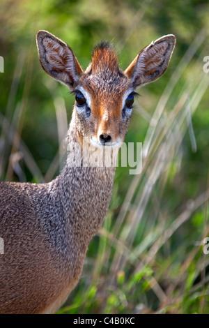 Tanzania, Serengeti. Portraits of the shy female Dik-dik. - Stock Image