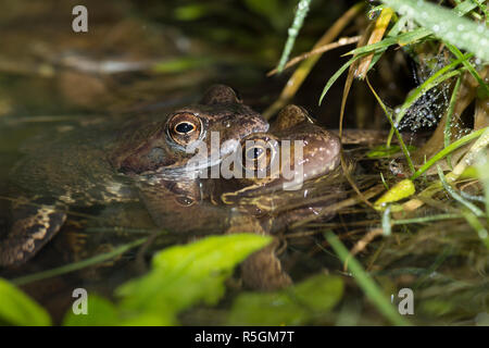 Common Frogs, Rana temporaria, Pair in amplexus mating in breeding pond, Sussex, UK.  February. - Stock Image