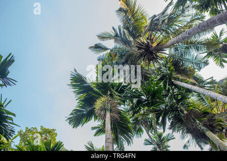 Looking up at palm trees in a tropical location - Stock Image