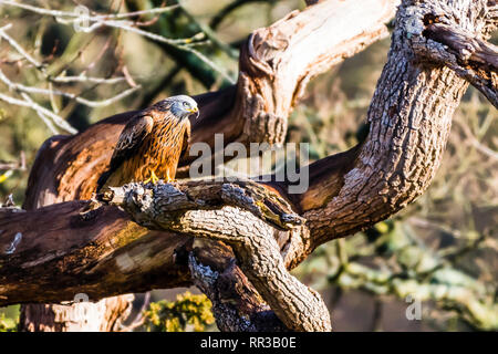 Red Kite sitting in a tree at Cliveden, Buckinghamshire, UK - Stock Image