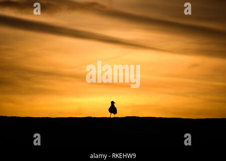 Mousehole, Cornwall, UK. 11th Feb, 2019. UK Weather. Colourful sunrise for Seagulls perched on the harbour wall at Mousehole this morning. Credit: Simon Maycock/Alamy Live News - Stock Image