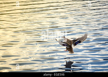 Picture of a female duck going in for landing - Stock Image