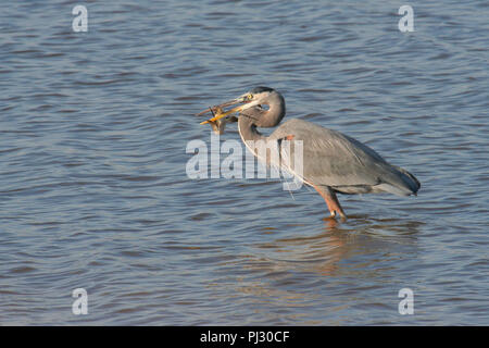 A great blue heron after capturing a fish. - Stock Image