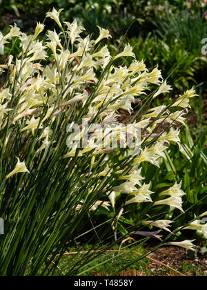 Cream flowered trumbets of the South African, half hardy corm, Gladiolus tristis, in a mid spring display - Stock Image