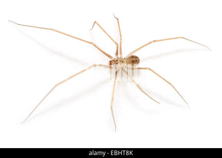 Male Spermophora senoculata spider on white background. Family Pholcidae, Cellar or Trembling spiders. This spider - Stock Image