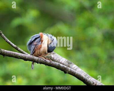 Crosby Ravensworth, Cumbria UK. 9th May 2018. A Nuthatch looks like he just wants to hide from the world but in fact he's just preening Credit: Steve Holroyd/Alamy Live News - Stock Image