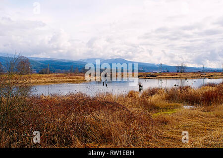 Alouette River looking north east. Ducks on the river with mountains in the background.  Dried winter grass in the foreground. - Stock Image