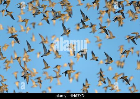 Flock of European golden plover (Pluvialis apricaria) in winter plumage, in flight. Norfolk, England. November. - Stock Image