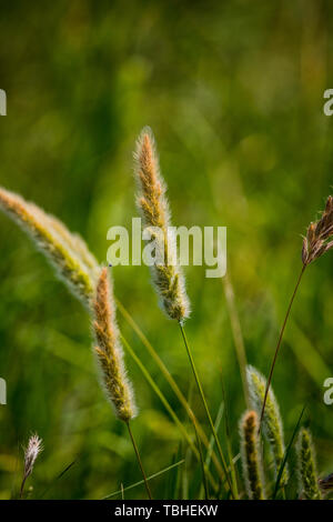 Wild foxtail grass growing at the Merced National Wildlife Refuge in the Central Valley of California USA - Stock Image