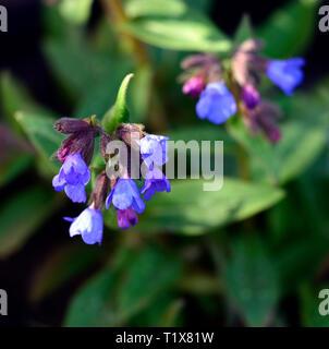pulmonaria benediction,blue flowers,lungwort, perennials,flower,flowering,flowers,spring,garden,RM floral - Stock Image
