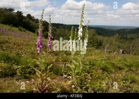common foxgloves (Digitalis purpurea) growing on hillsides of Devils Punchbowl, Hindhead, Surrey, England - Stock Image