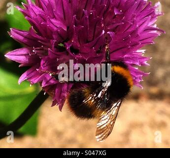Honey Bee Collecting Pollen - Stock Image