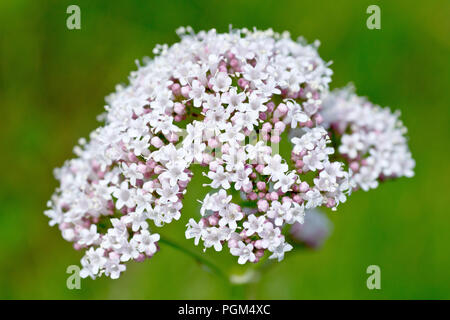 Common Valerian (valeriana officinalis), close up of a solitary flower head with low depth of field. - Stock Image