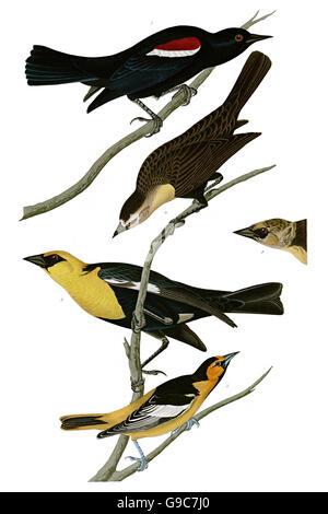 1 Northern Oriole, Icterus galbula, 2 Yellow-headed Blackbird, Xanthocephalus, 3 Tricolored Blackbird, Agelaius - Stock Image