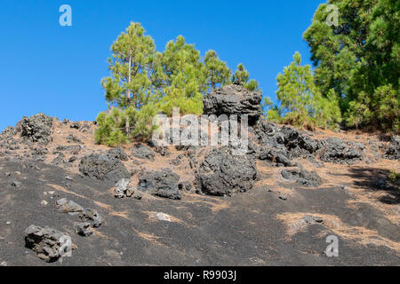 Canary Island pine (pinus canariensis) growing amongst the volcanic landscape of Llanos del Jable, La Palma Island, Canary Islands, Spain - Stock Image