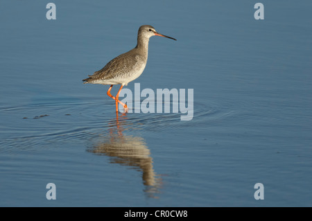 Spotted redshank (Tringa erythropus) winter adult feeding in shallow lagoon on north Norfolk coast. March. - Stock Image