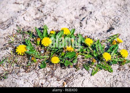 Dandelion Flowers On A Beach - Stock Image