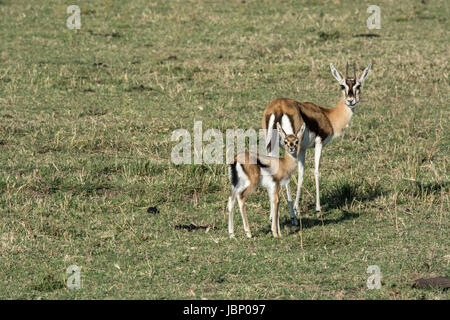 Thomson's Gazelle mother, Eudorcas thomsonii, and her young fawn, standing and looking at the camera, Masai - Stock Image