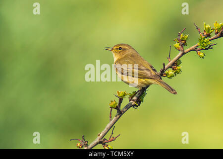 Close-up of a Willow warbler bird, Phylloscopus trochilus, singing vibrant background. - Stock Image