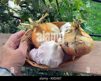 Big garlic heads and onions in wicker basket outdoor hand holding - Stock Image