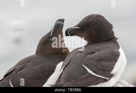 Razorbill on the Farne Islands, Northumberland, UK. - Stock Image