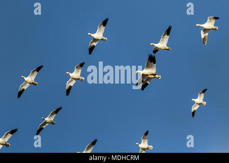 Snow geese (Anser caerulescens) migration in the Klamath Basin National Wildlife Refuge; Merrill, Oregon, United States of America - Stock Image