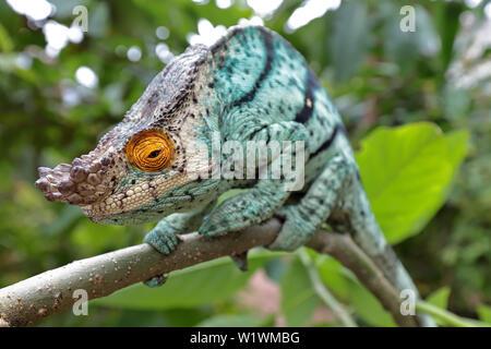 Male Parson's Chameleon Calumma parsonii Madagascar - Stock Image