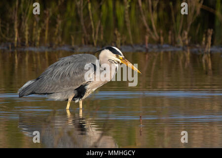 Grey Heron (Ardea cinerea) wading near the shore of a freshwater lake - Stock Image
