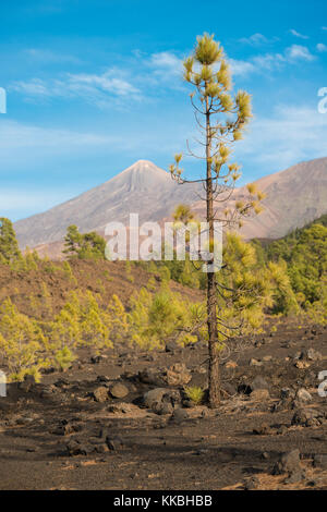 Looking towards Teide and Pico Viejo Volcanoes from native pine forest at Chio de Bajada, Tenerife, growing on dark - Stock Image