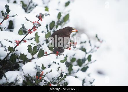 female Blackbird, (Turdus merula), feeding on a berry from holly in winter snow, Regents Park, London, United Kingdom - Stock Image