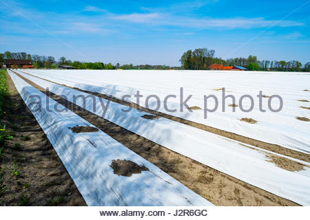 Field of planted asparagus in northwestern Germany, with covers for UV protection - Stock Image